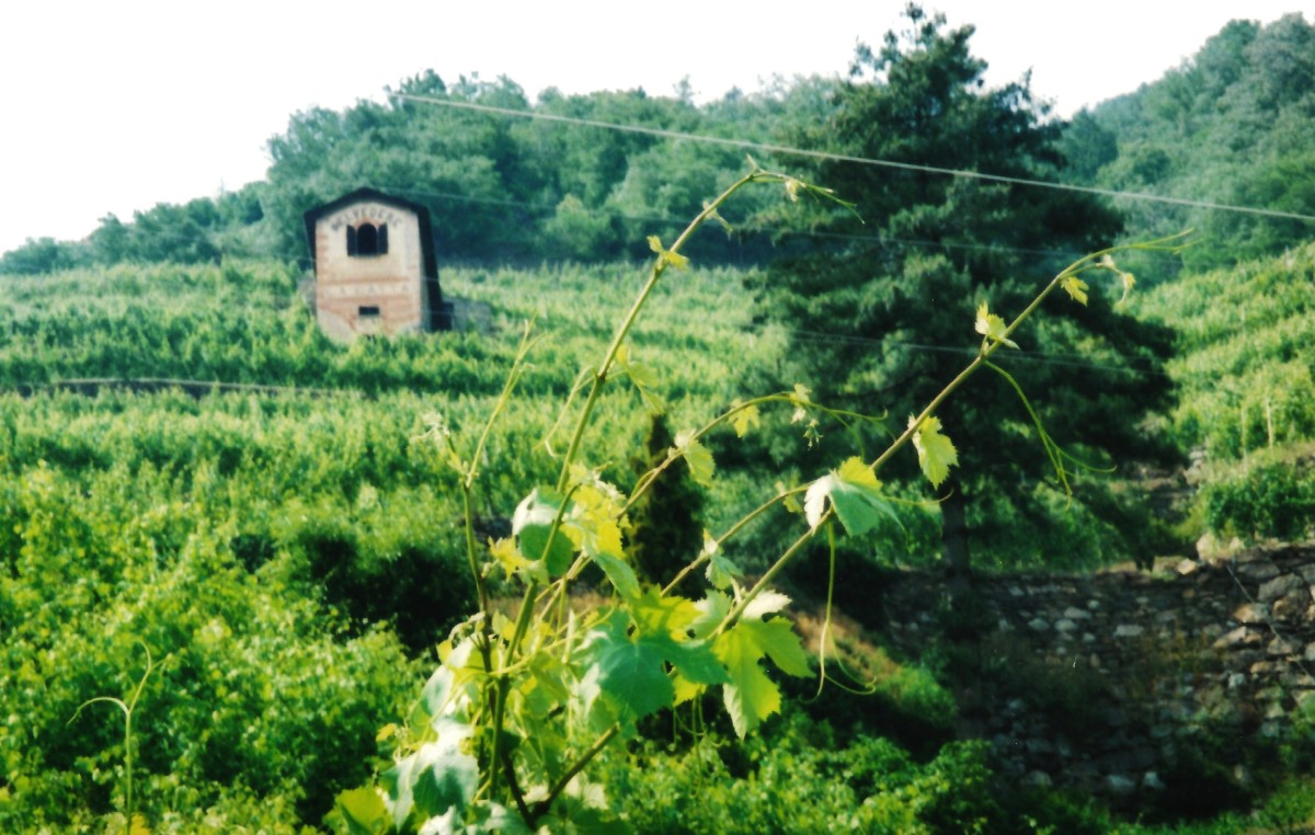 Another view of the vineyards
