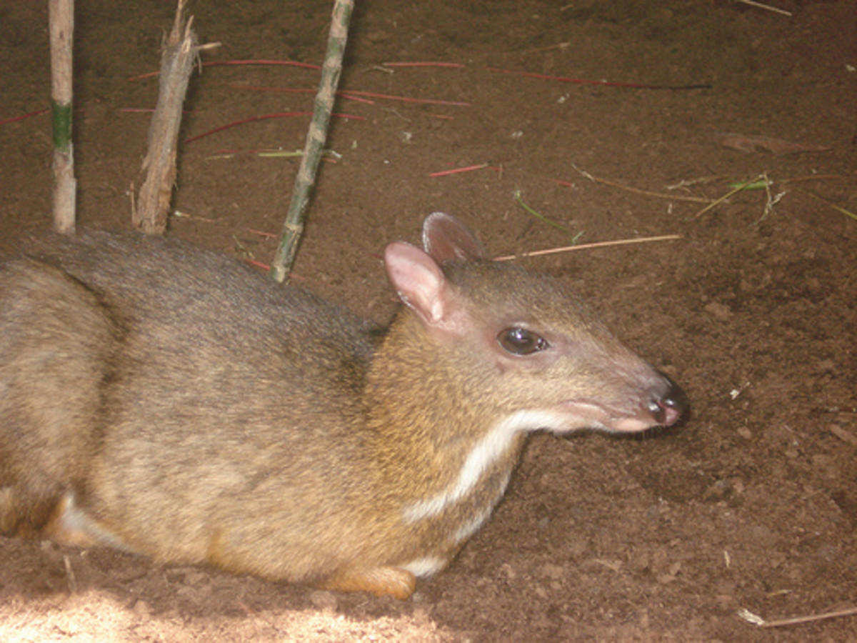 The Mousedeer is also known as the Chevrotain and locally in Malaysia as the Kancil. The Mousedeer plays an important part in Malay folklore.