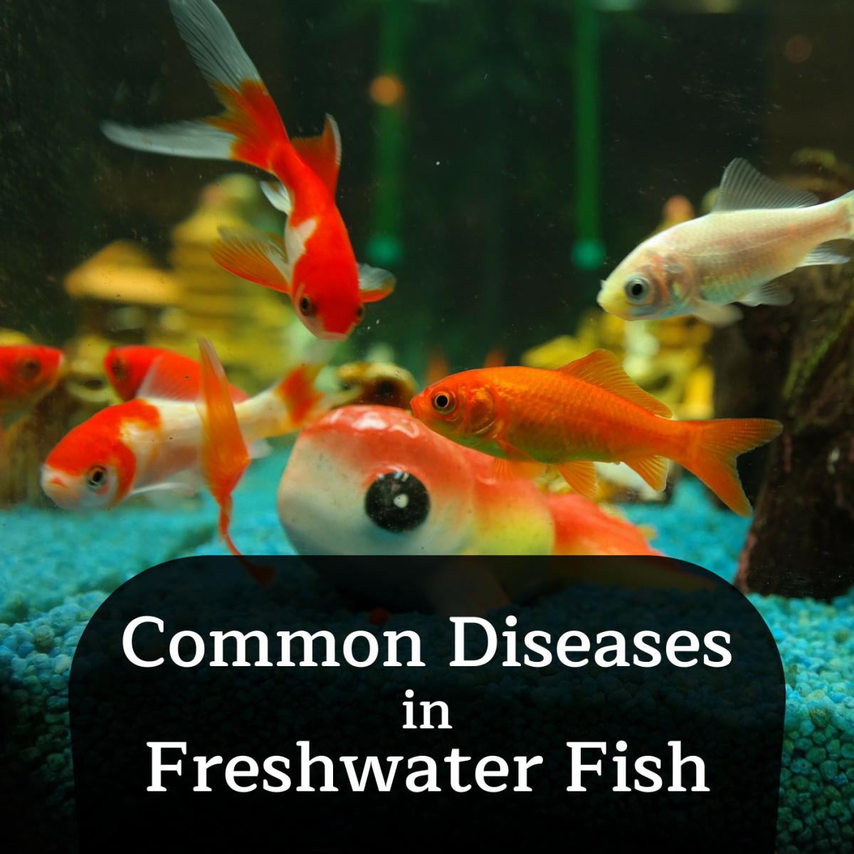 Learn about some common diseases that afflict freshwater fish, such as ich, dropsy, and popeye.