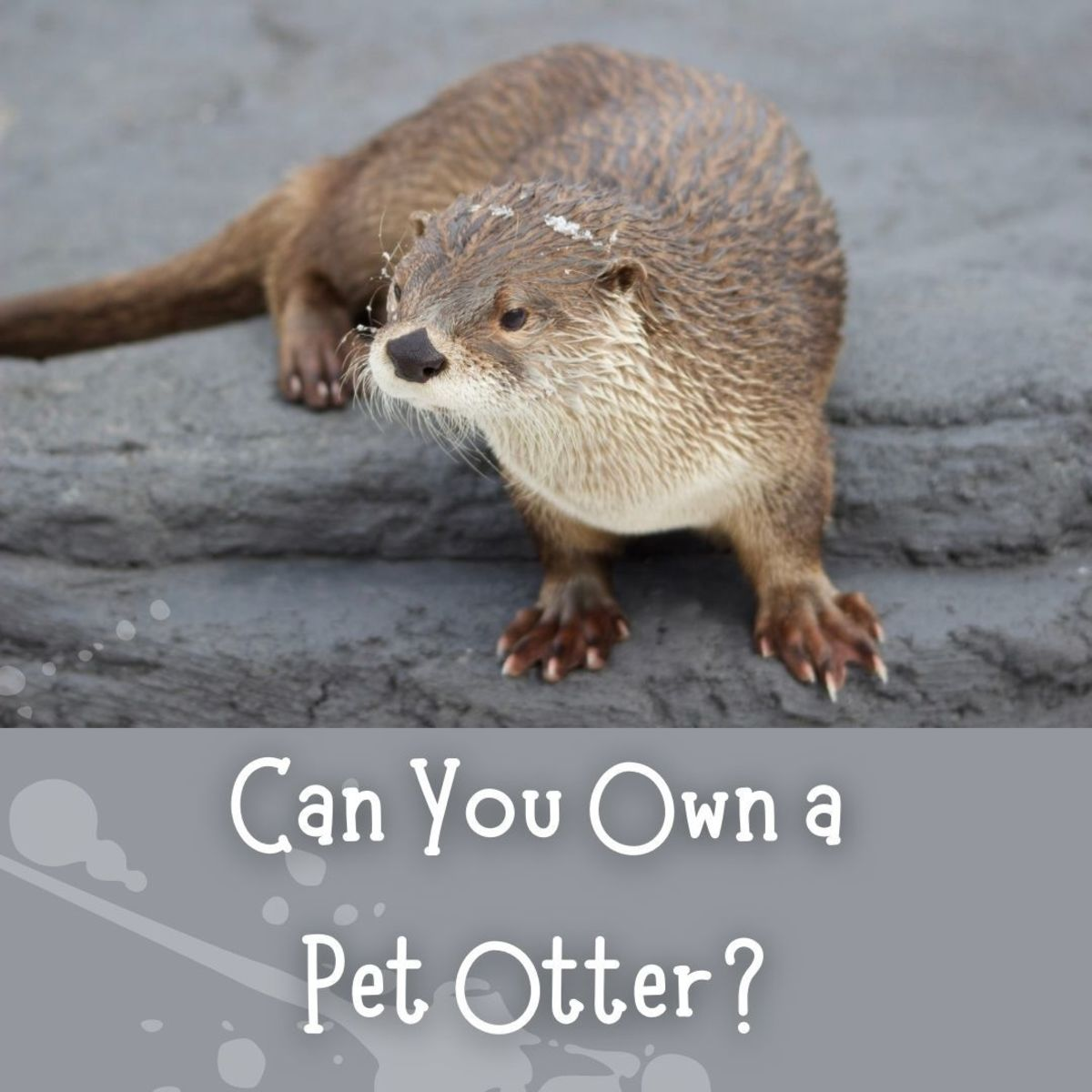 Otters can be legally obtained for private ownership.