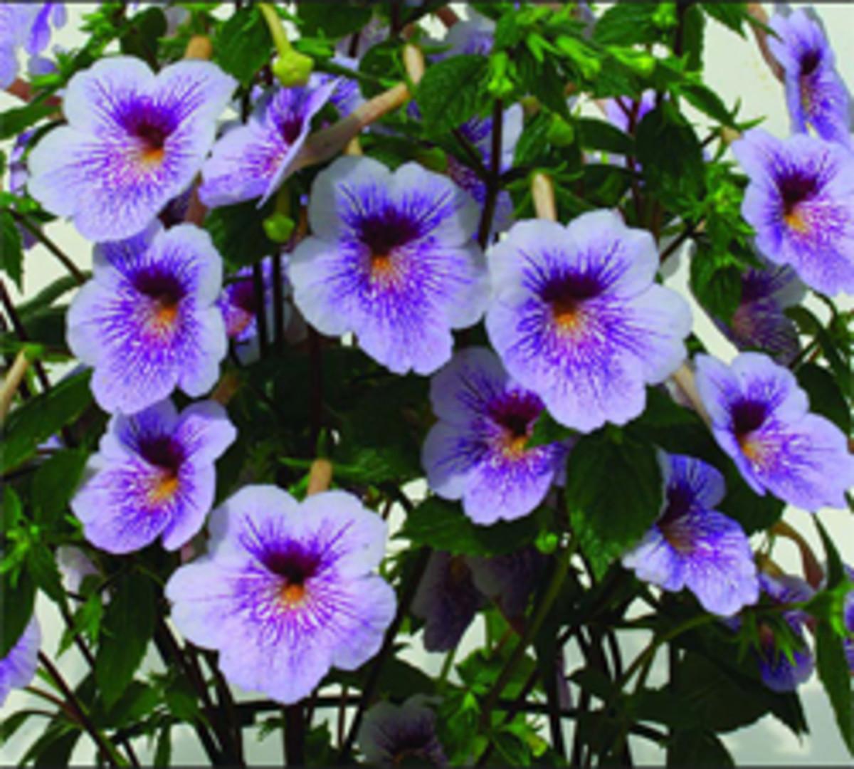 achimenestipsplantinggrowingbulbs