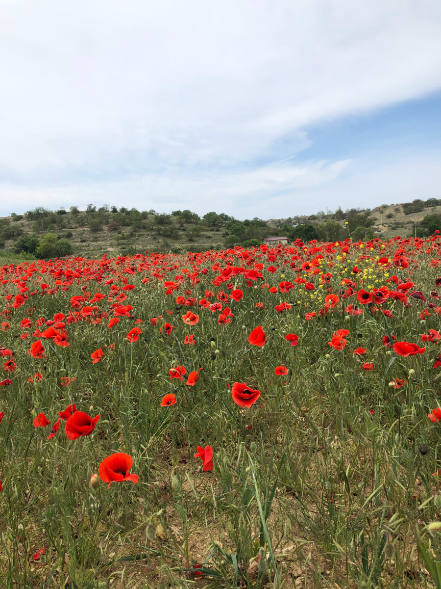 A girl named Poppy is seen as wild and free like a field of these flowers.
