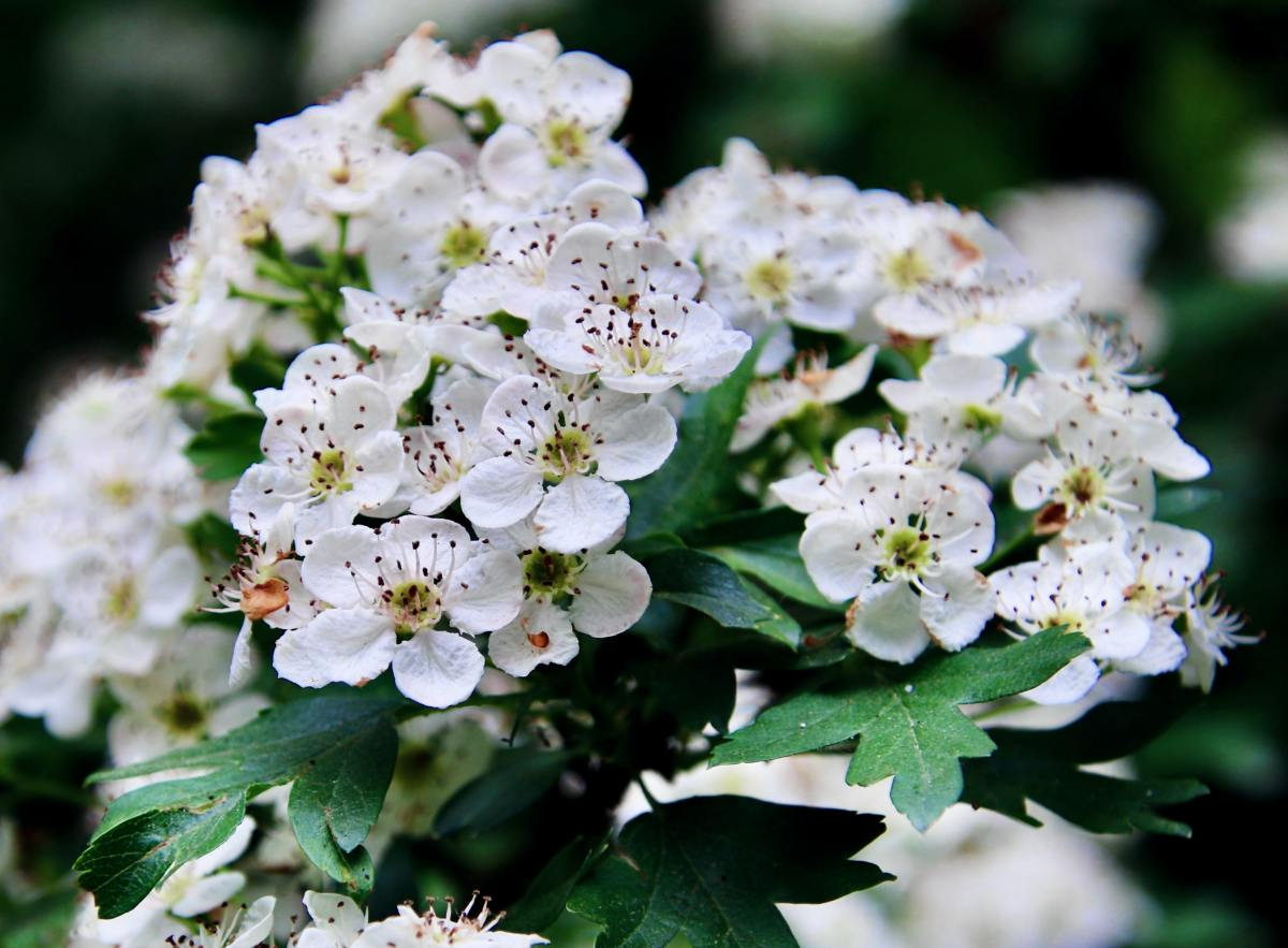 The name Hawthorn is like the shrub itself: an amalgamation of toughness and daintiness.