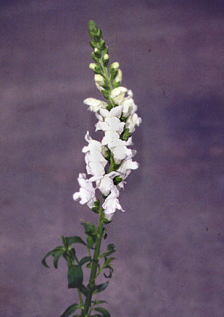 Snap Dragon