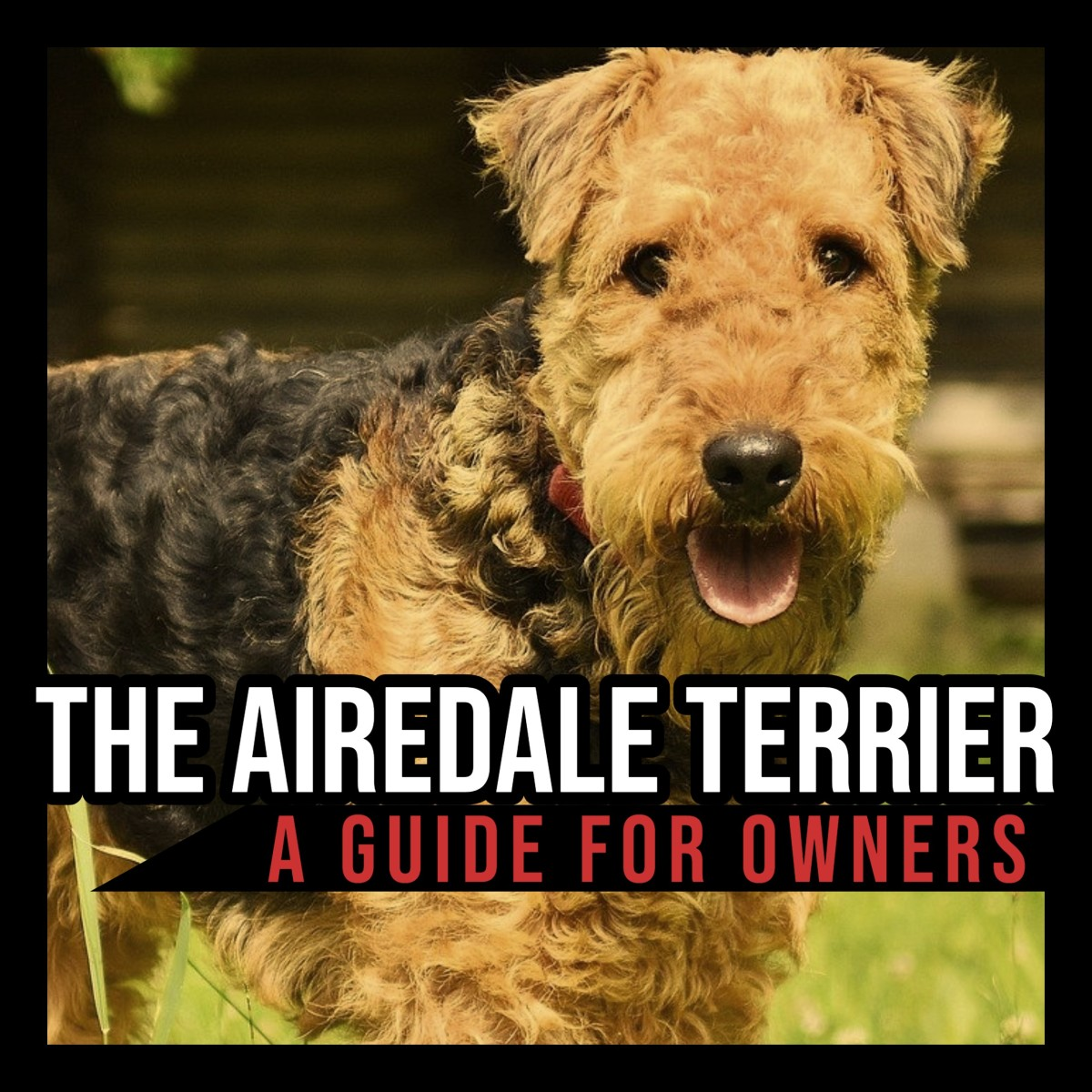 The Airedale Terrier: A Guide for Owners