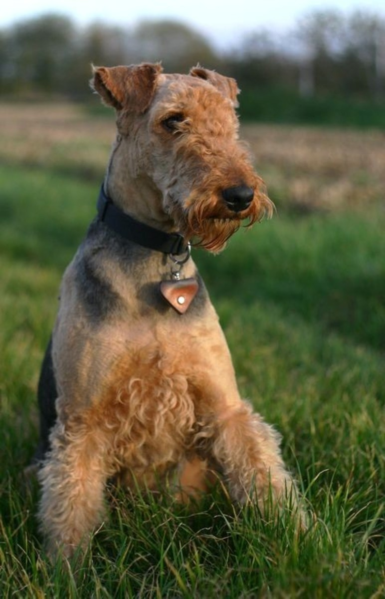 Beautiful Airedale Terrier resting outside.
