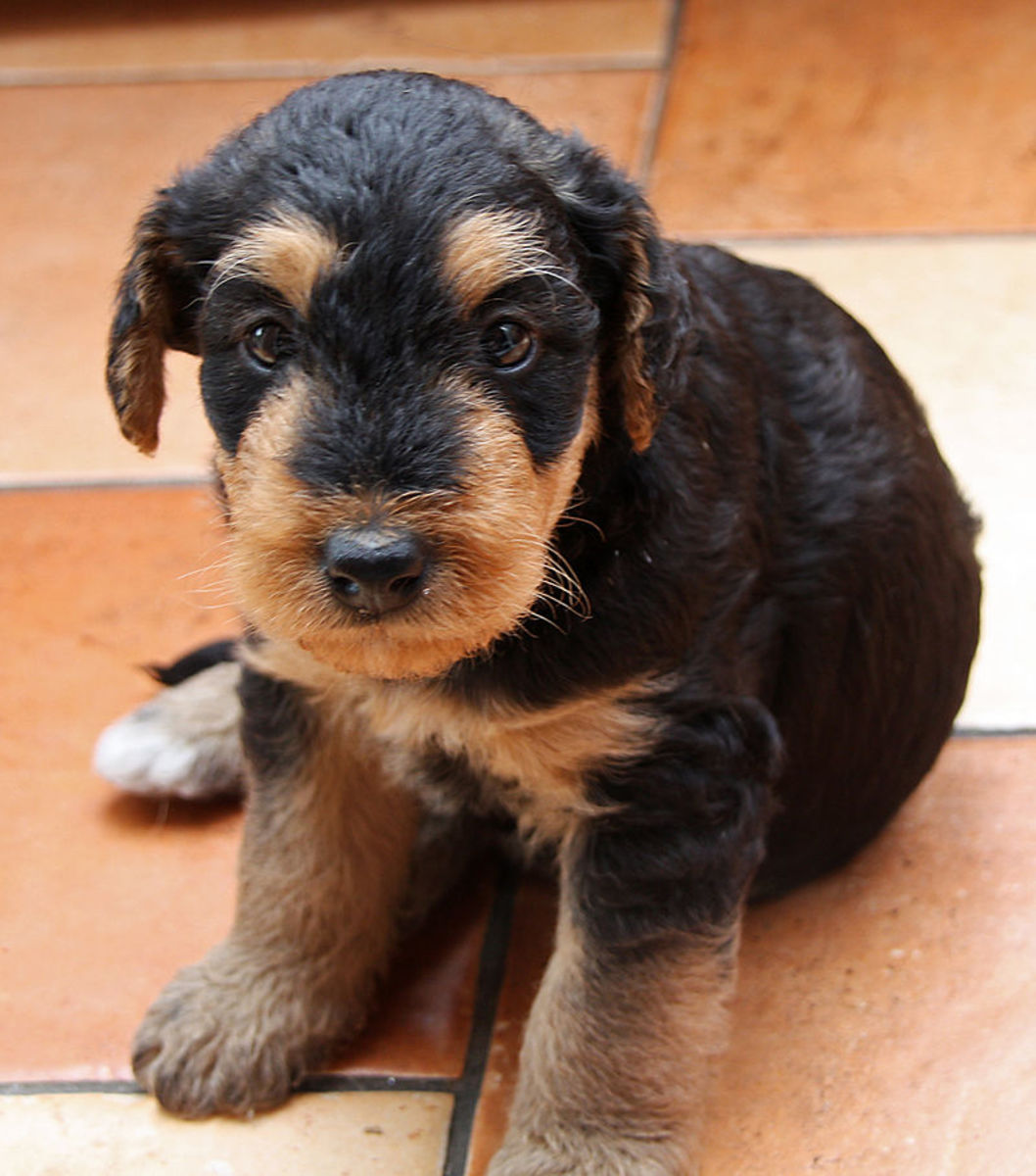 Sweet Airedale Terrier puppy posing for the camera.