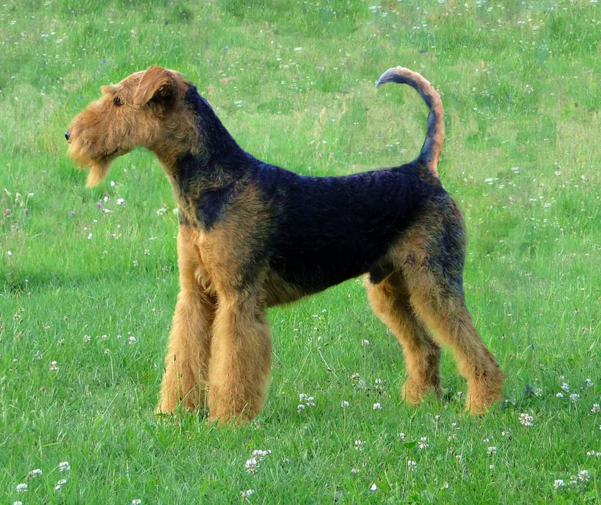 Side profile of the beautiful Airedale Terrier.