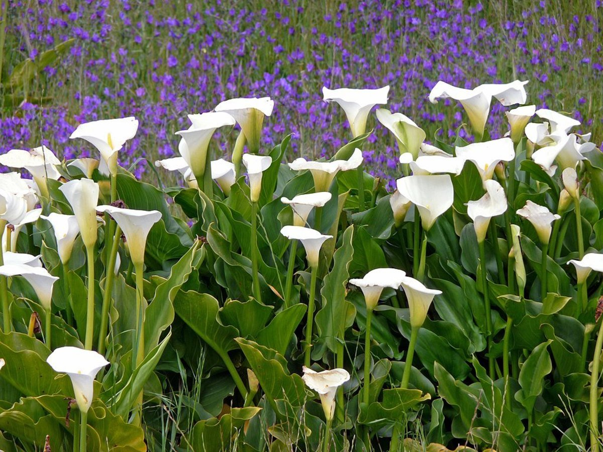 How to Grow Calla Lilies Indoors or Outdoors