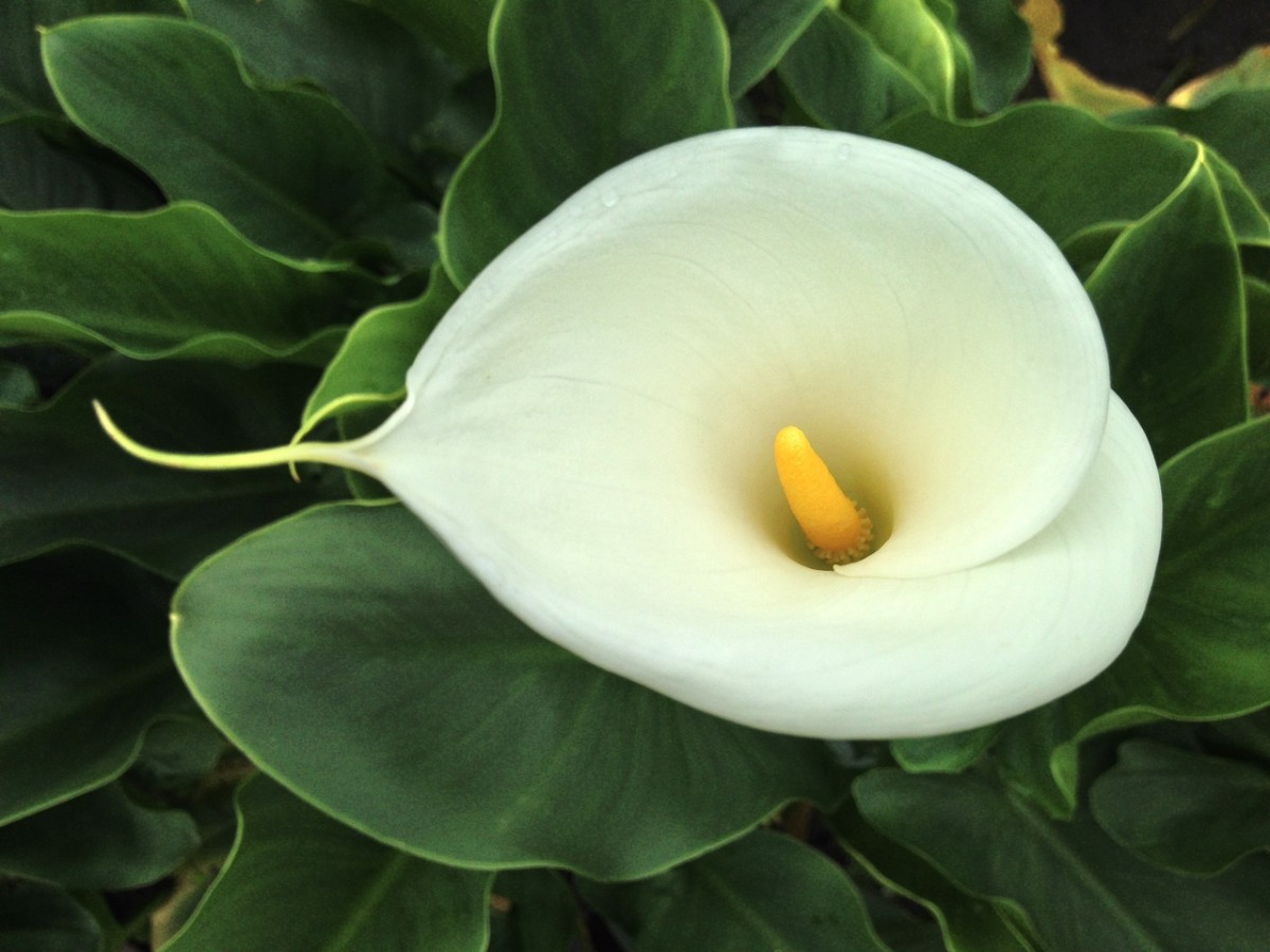 The flowers grow inside the white spathe.