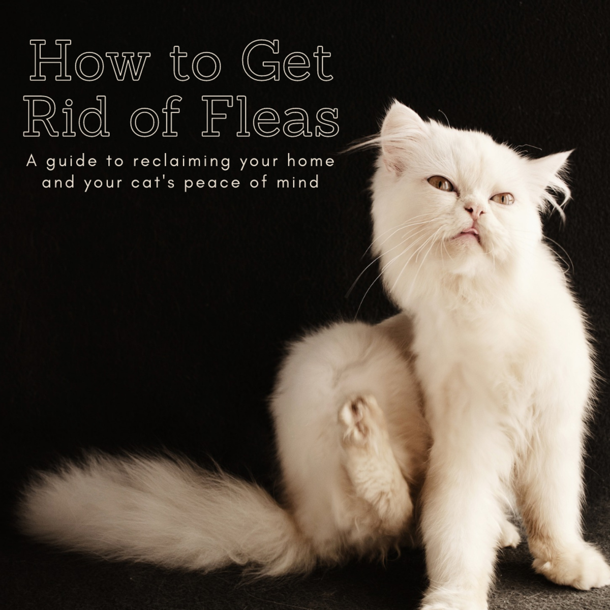 This article will take a look at some of the ways you can safely treatment your cat's flea problem without breaking the bank.
