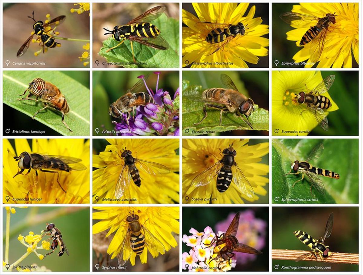 The amazing variety of flower flies, AKA hoverflies