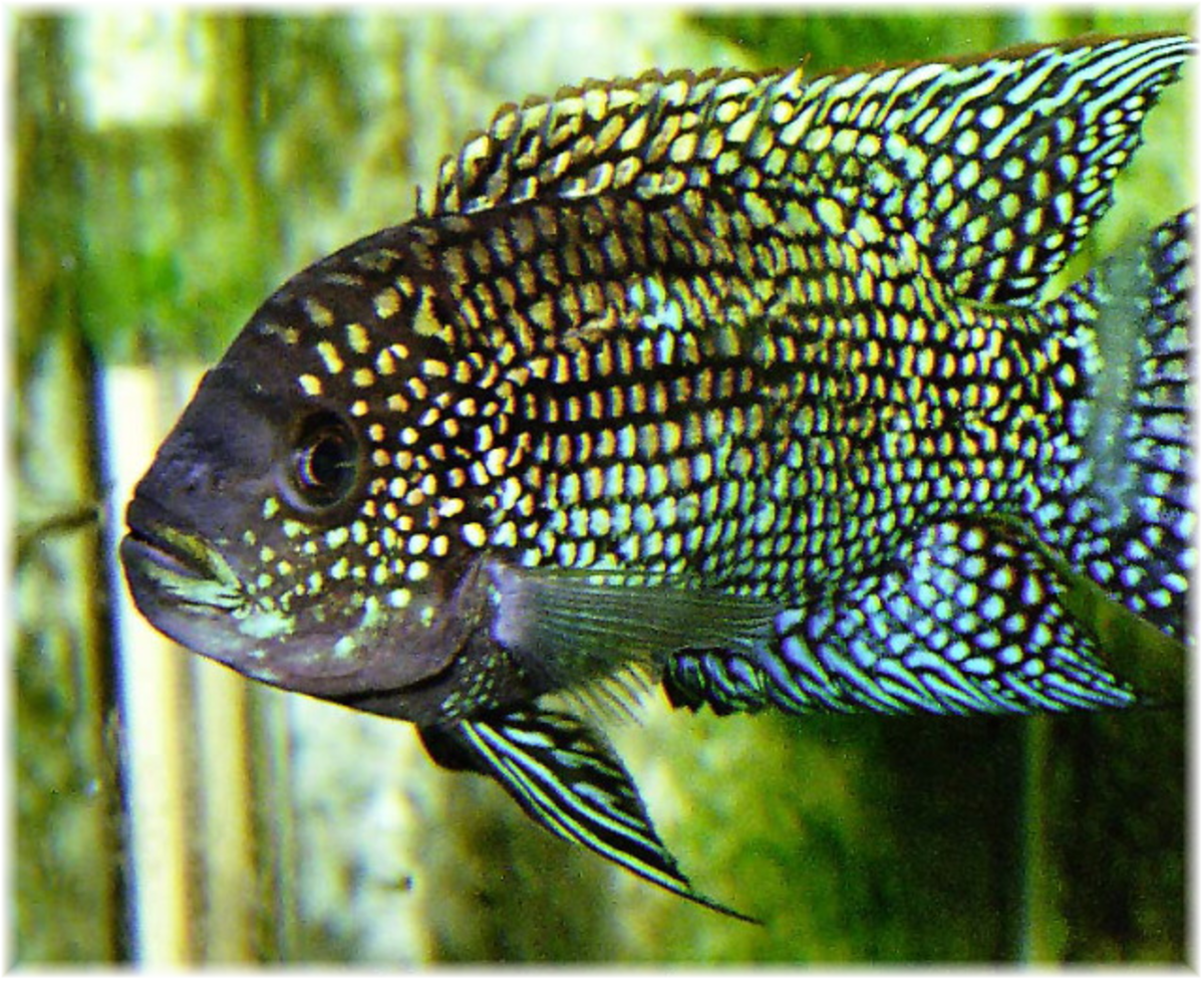 Jack dempsey fish a big fish with a big personality for What is a jack fish