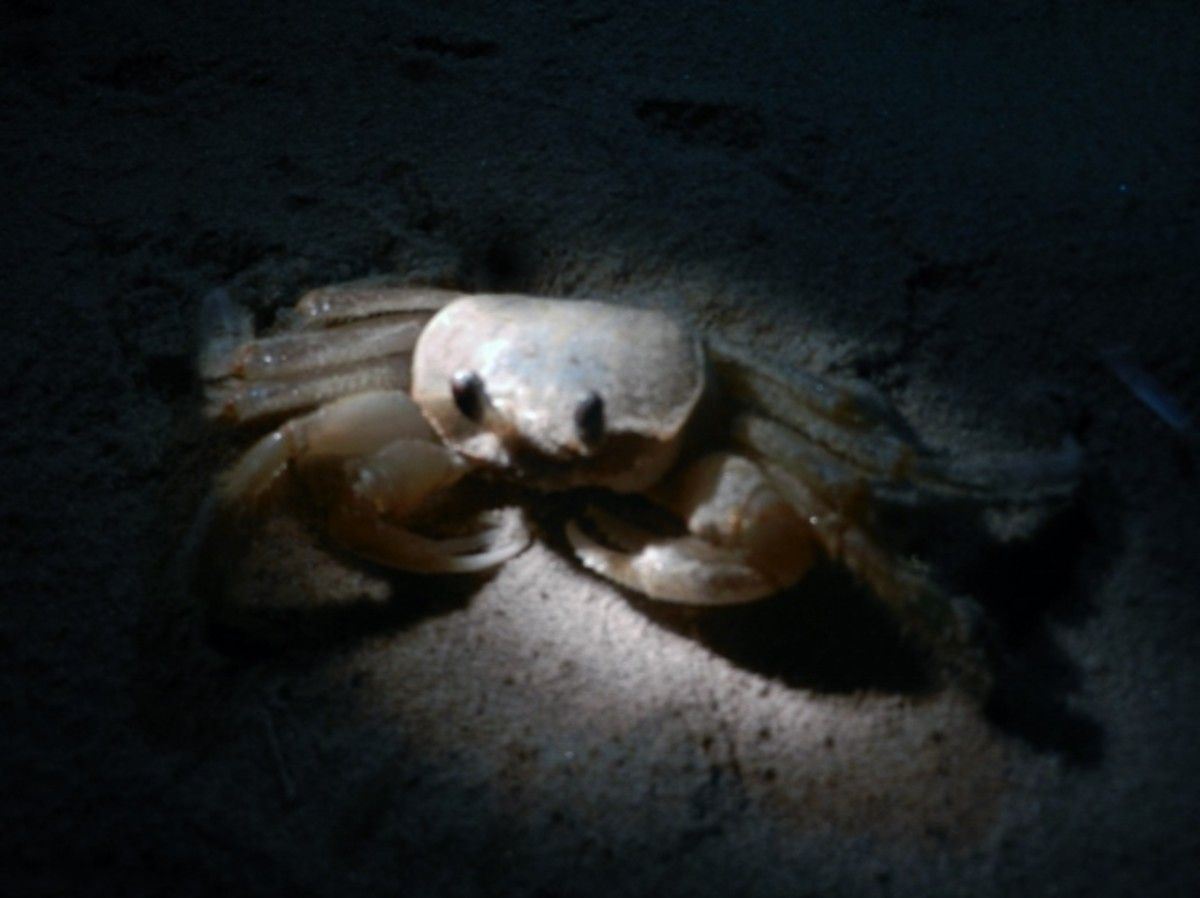 Appearing as the sun drops from the sky, ghost crabs dot the sands of the outer banks, scurrying so fast that they seem to float over the wet beach.