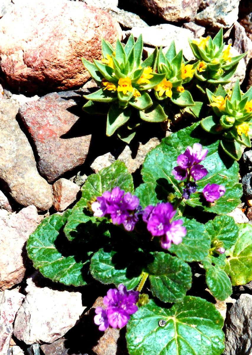Aren't these pretty!  Viewed at  Natural Bridge in Death Valley