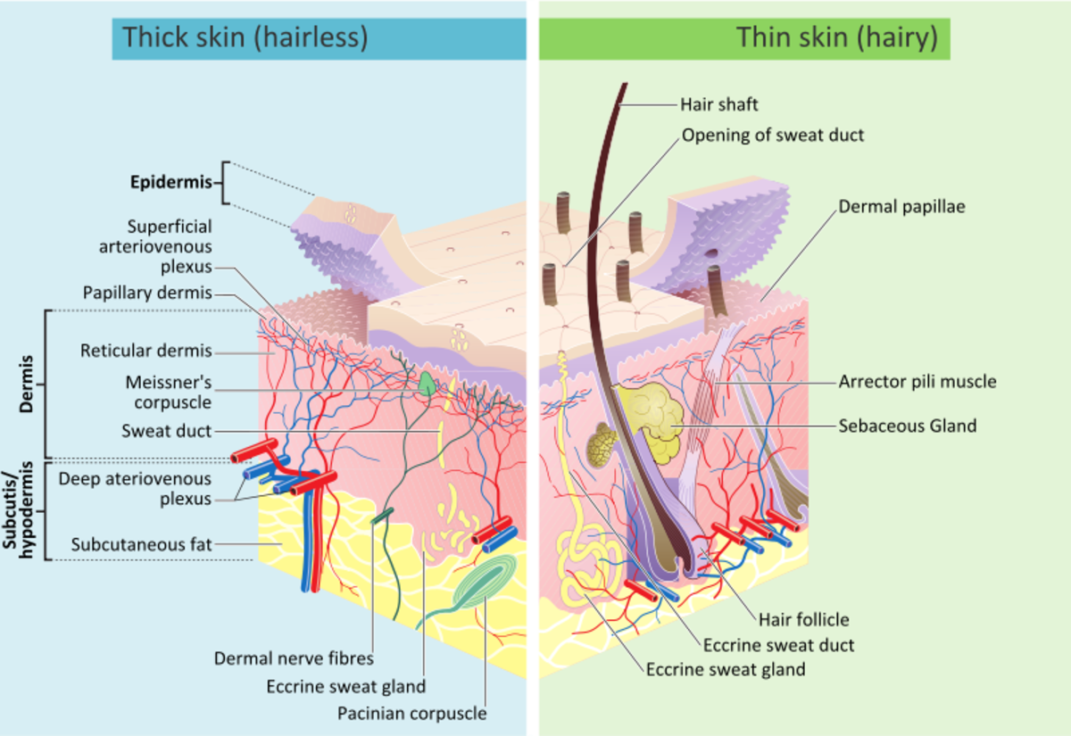 The Skin layers