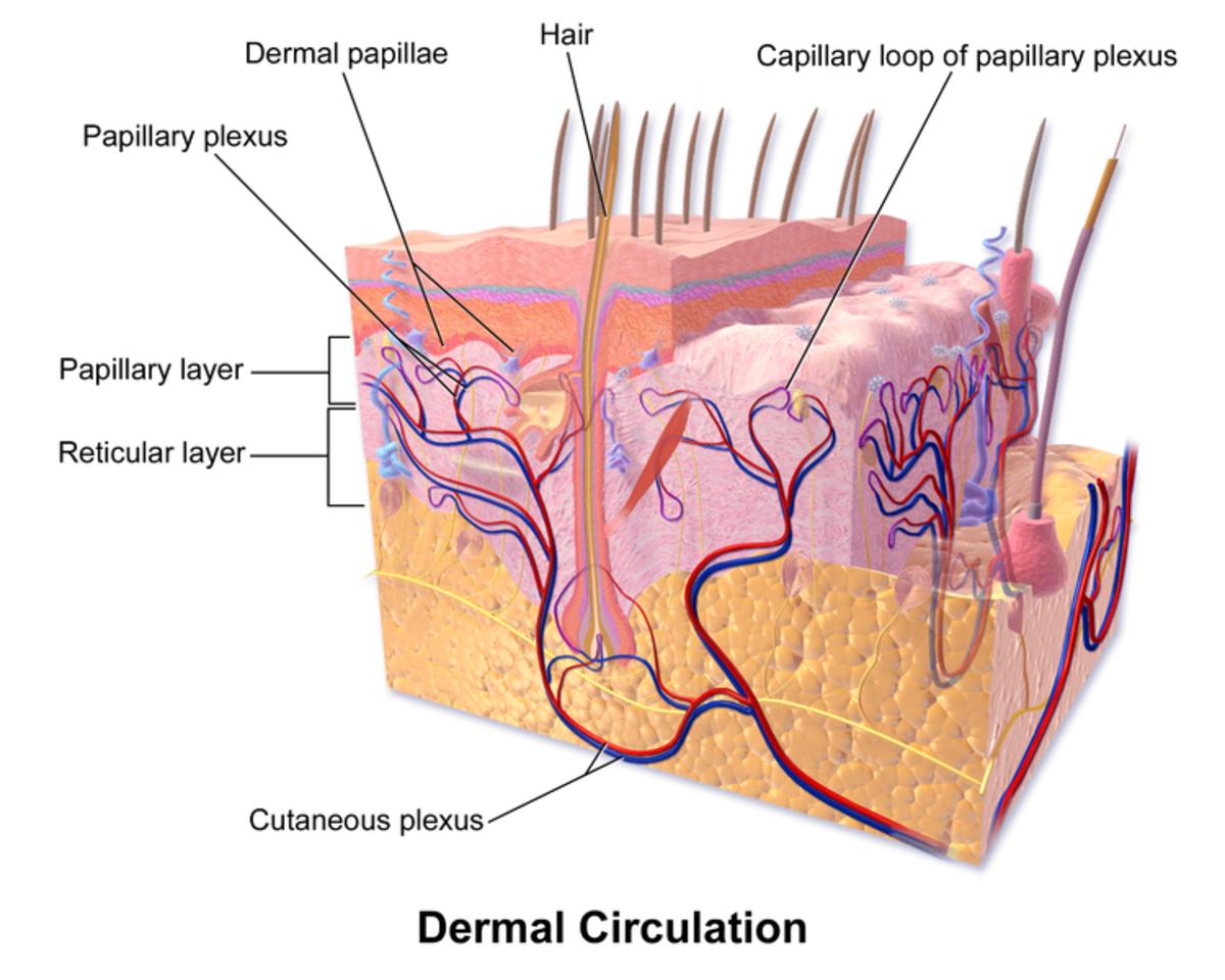 Skin DermalCirculation