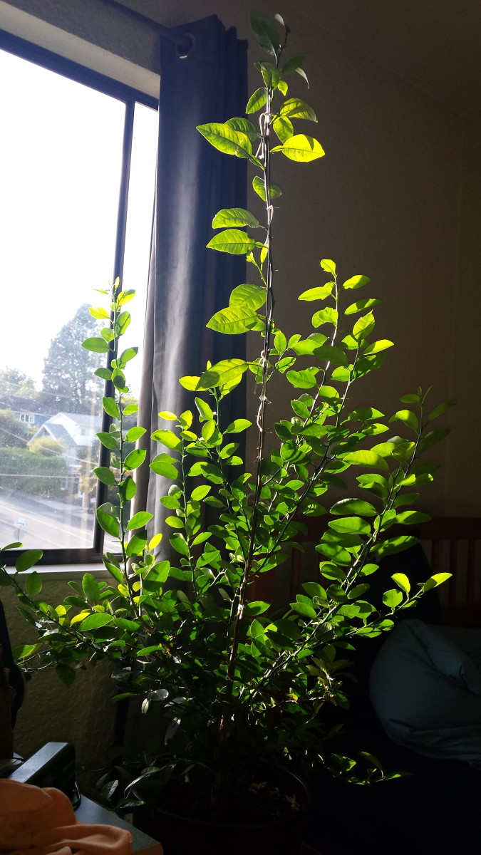 Sunshine and fresh air obviously appealed to my lime...growth has been strong, and resulted in a lot of secondary trunks (I don't know what else to call them.