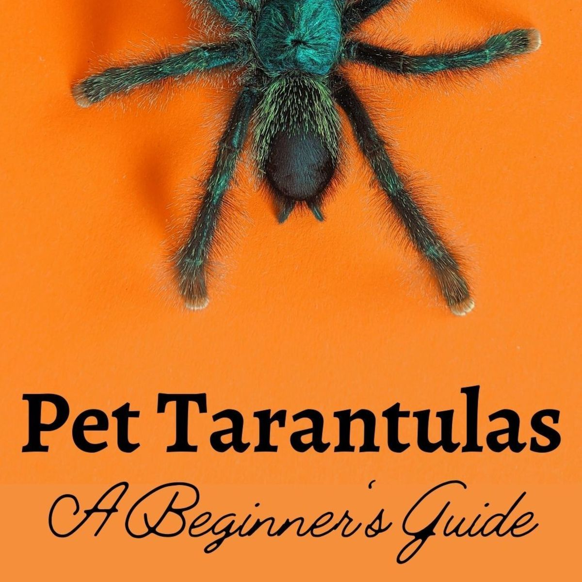 For the right person, a pet spider can be an ideal pet.