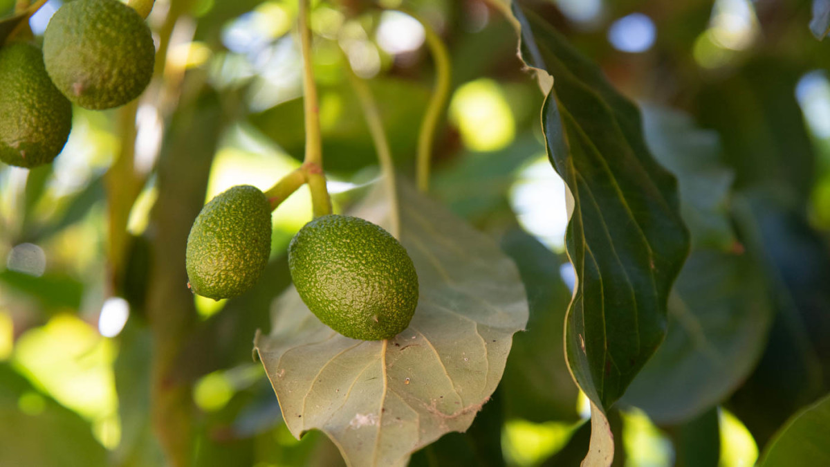 Hass avocados growing in California
