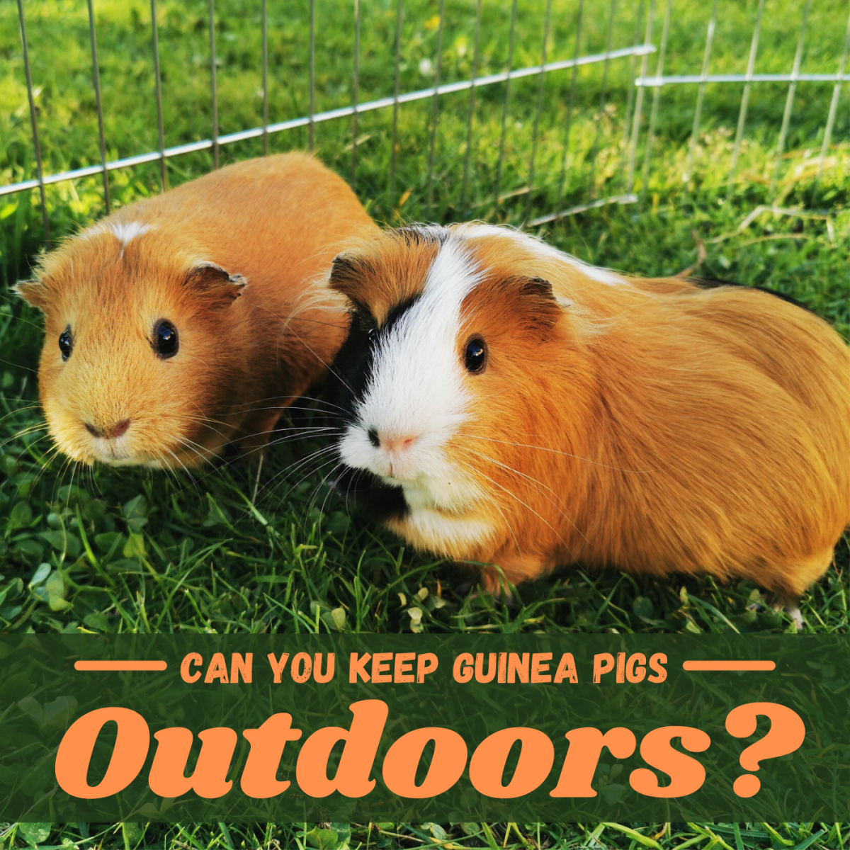You can keep your cavies outdoors if you take extra precautions to keep them safe and healthy.