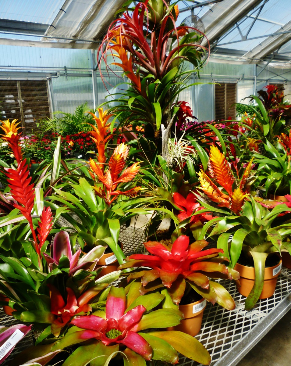 Many beautiful bromeliads