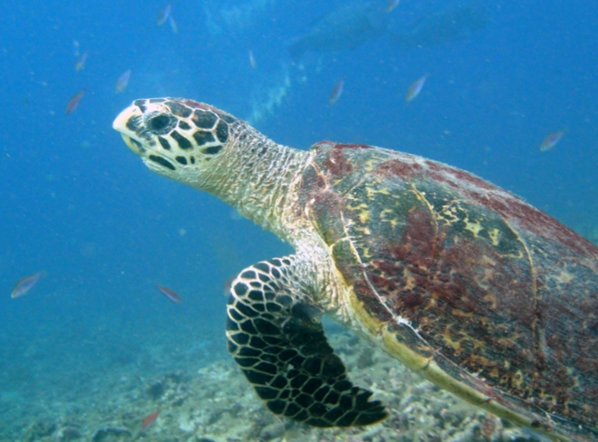 Hawksbill turtle on Pom Pom island