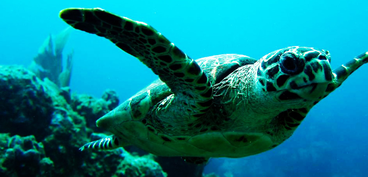 Hawskbill Turtle photographed during a dive off Ginger Island, British Virgin Islands