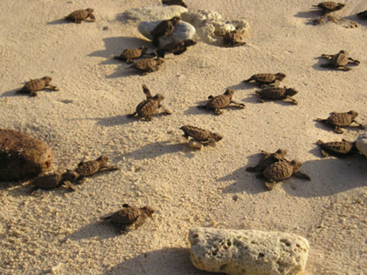 Baby turtles