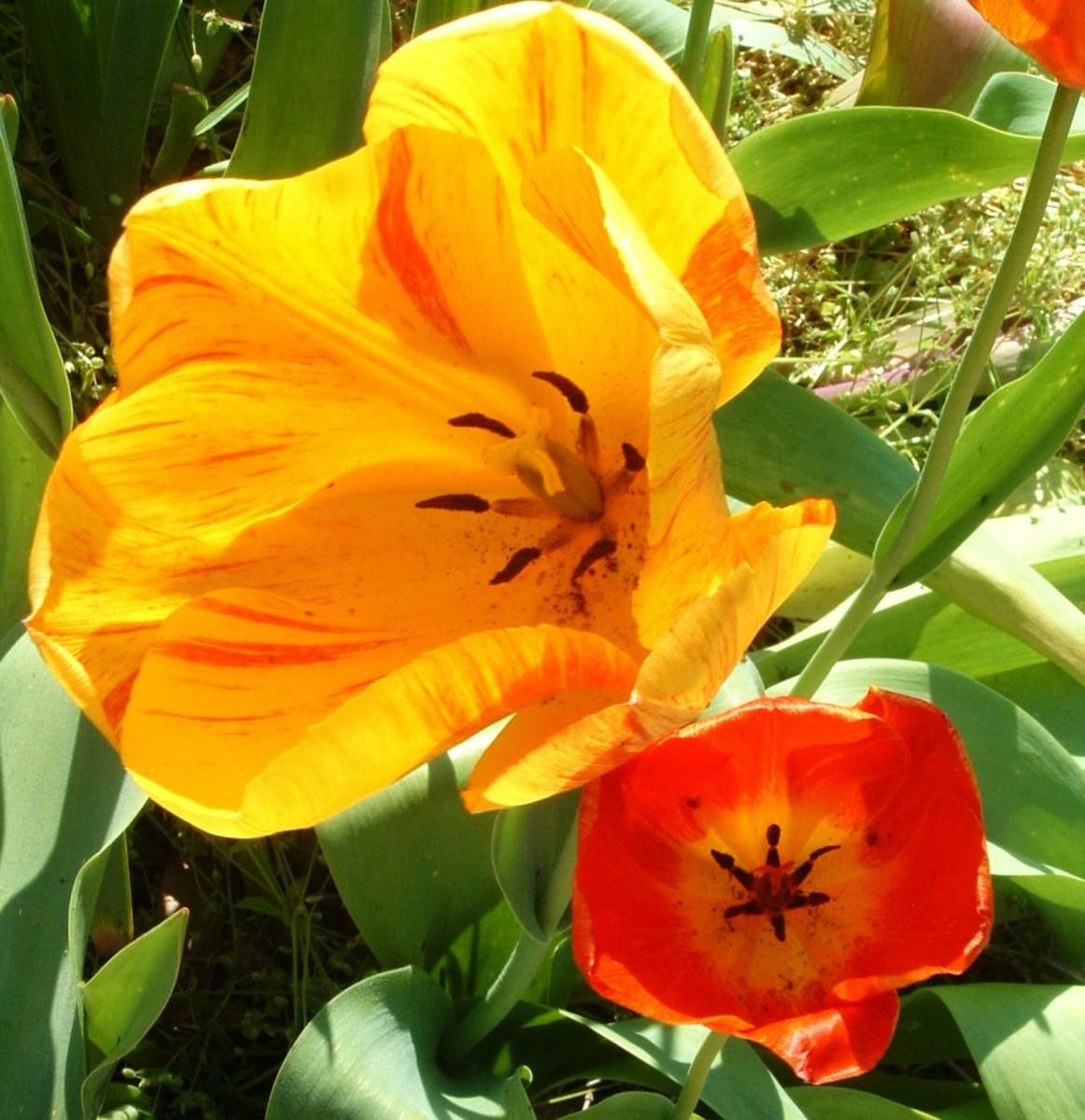 Springtime Fun: Lewes Delaware Tulip Festival