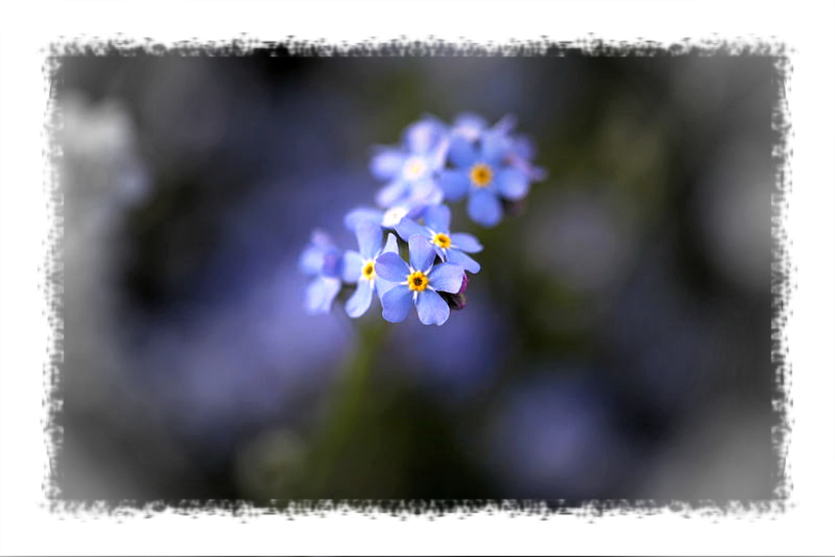 The forget me not, a symbol of appreciation