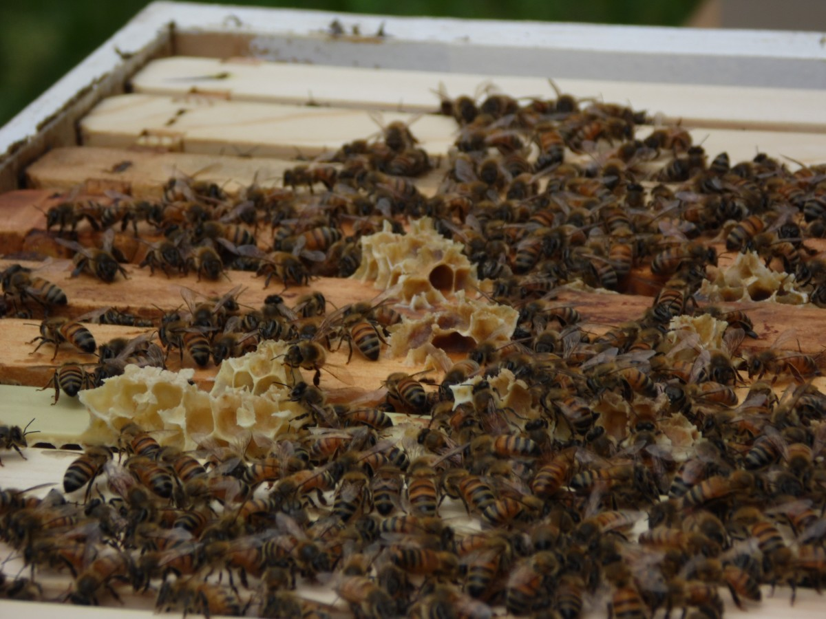 Tops of frames in a honey bee hive.  Notice how the bees have built some wax comb on top of the bars.