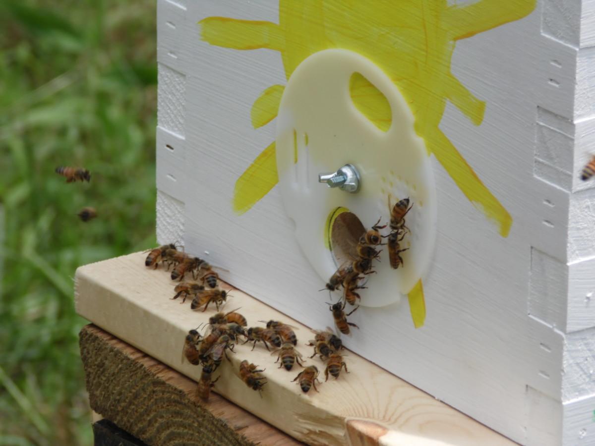 Honey bees at hive entrance.