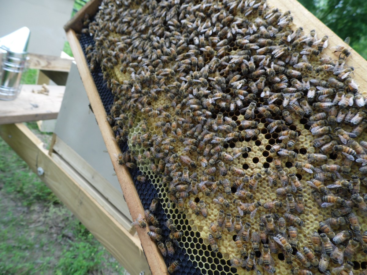 Frame Full of Honey Bees