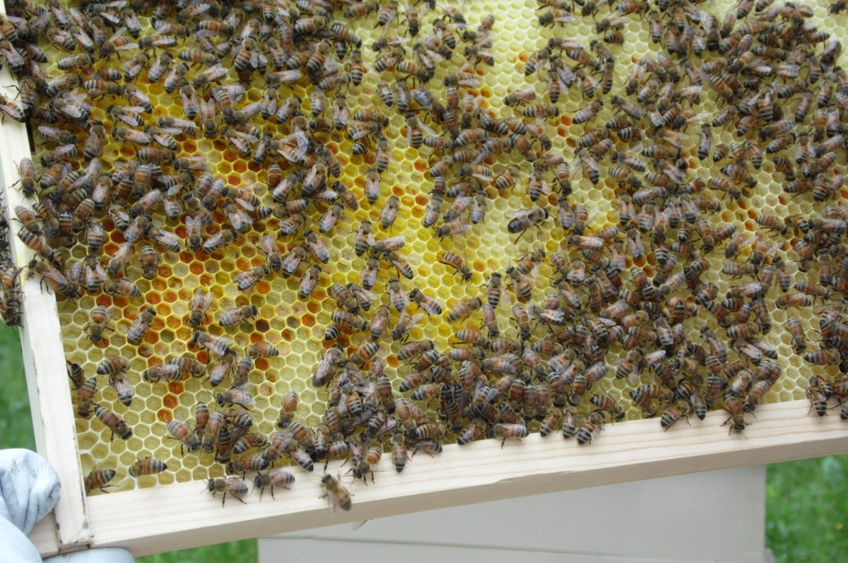 Beehive Frame Full of Multicolored Pollen