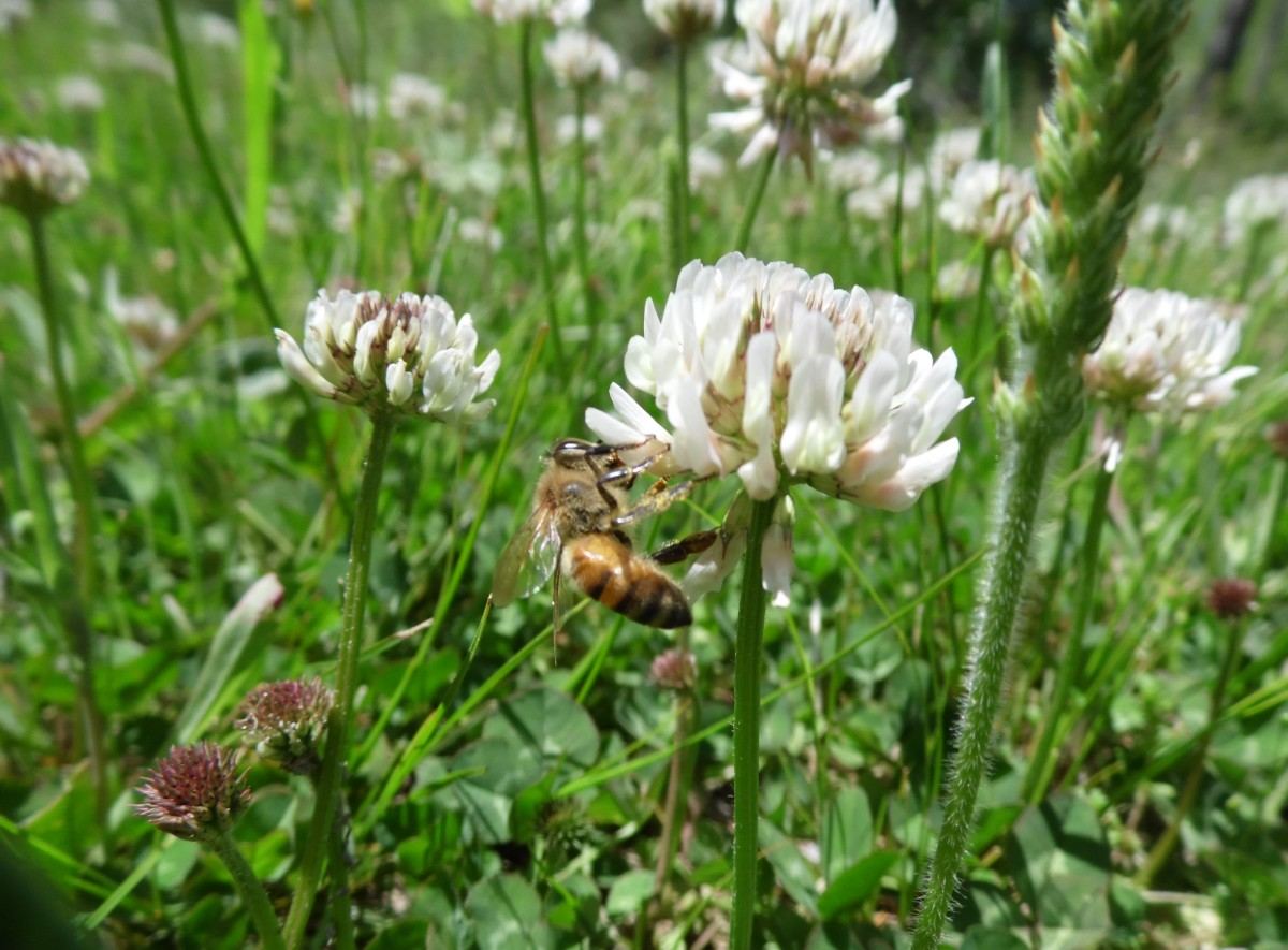 Honey bee working white clover.
