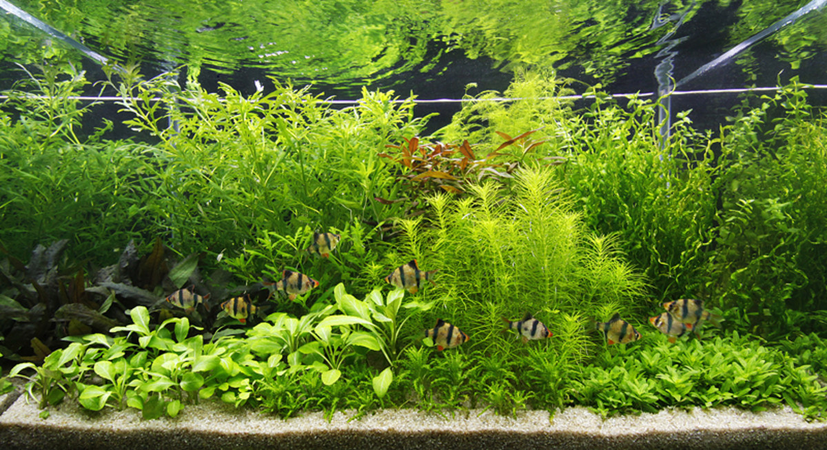 Carbon Dioxide (CO2) in a Planted Aquarium