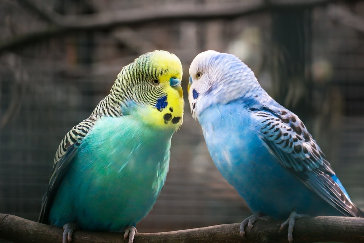 These two male budgies are displaying a close friendship.