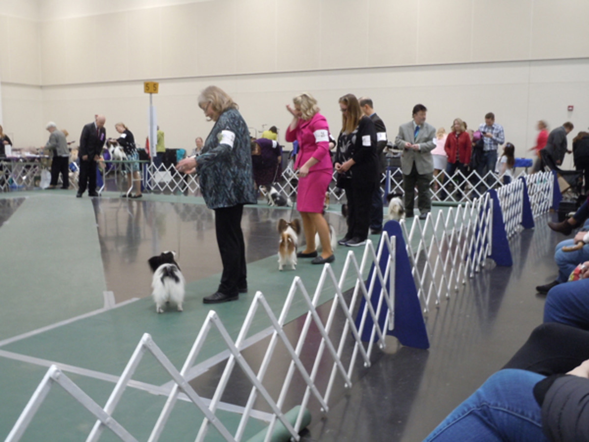 Judging the Papillons