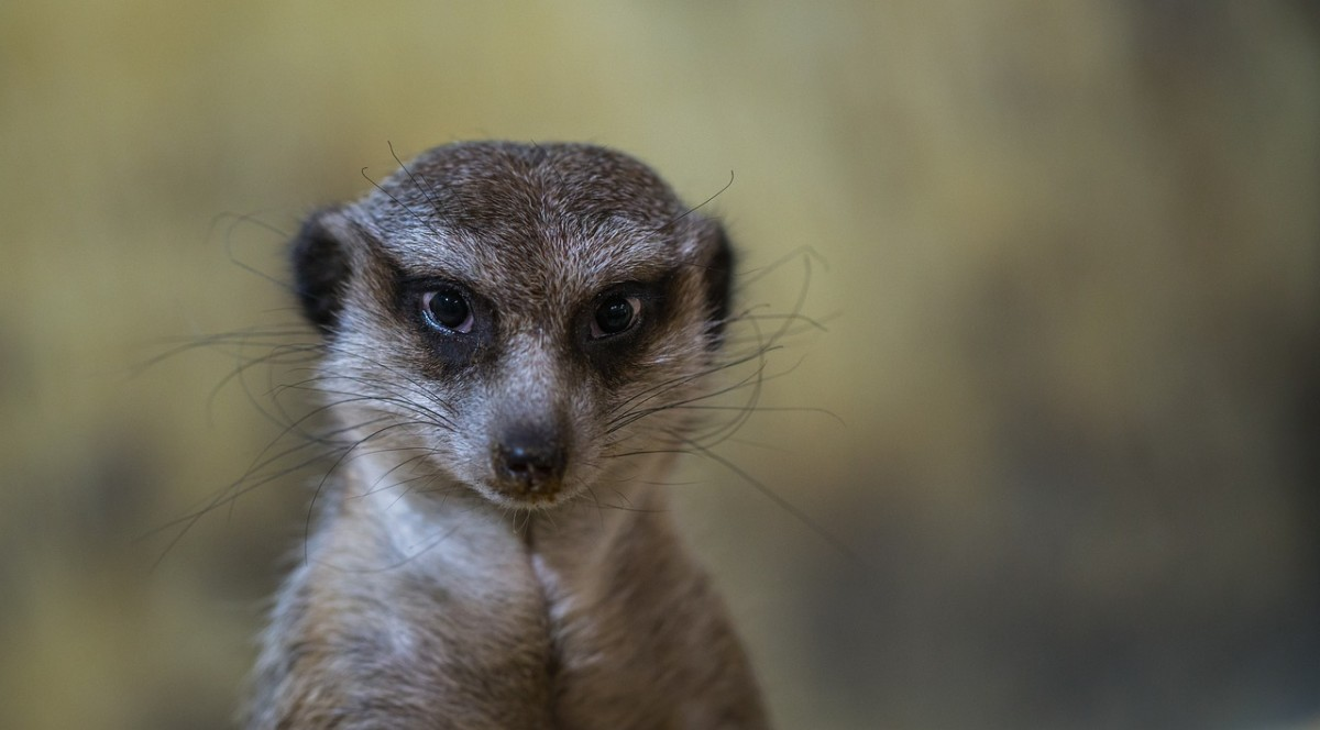 Behold Your New Overlord: the Dreaded Meerkat