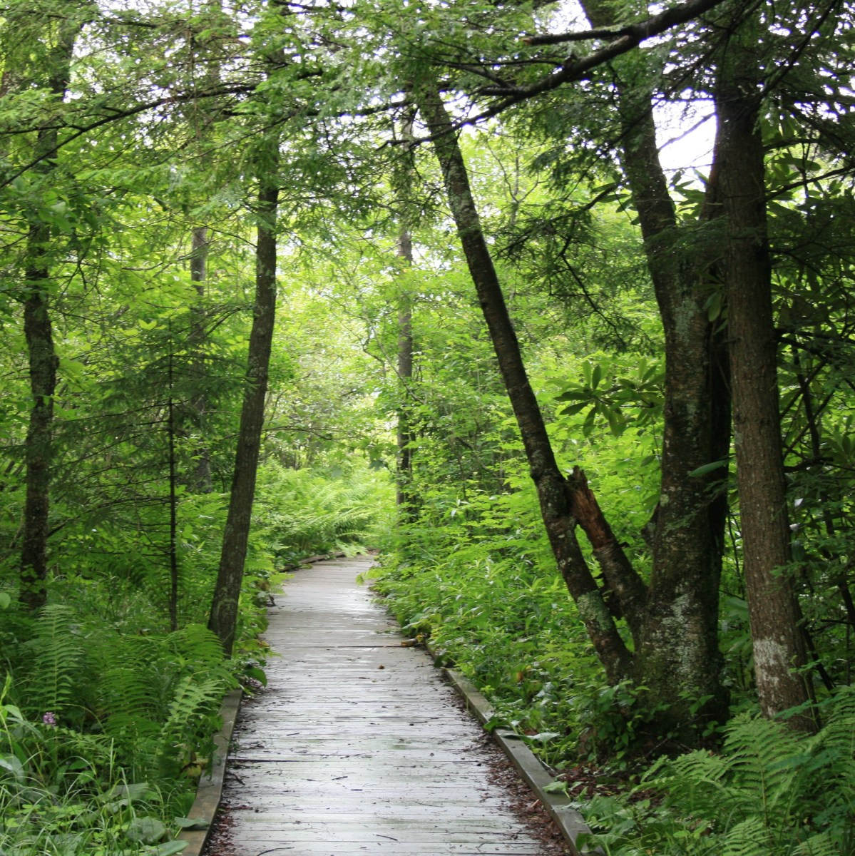 A view from the boardwalk on the Cranberry Glades Botanical Trail.