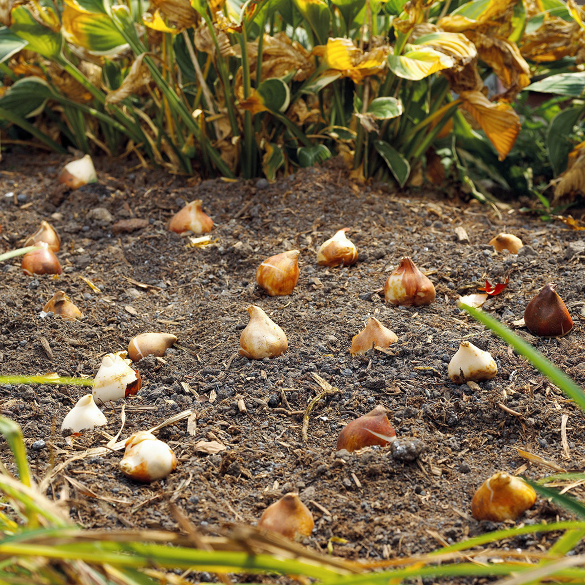 It's time to plant bulbs during the fall chill. They will pop out during the following spring.