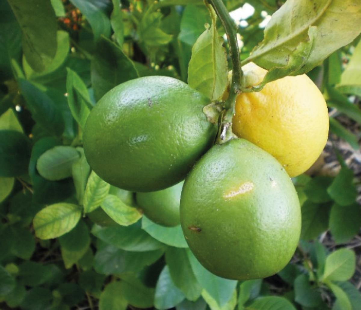 Galician Lemon