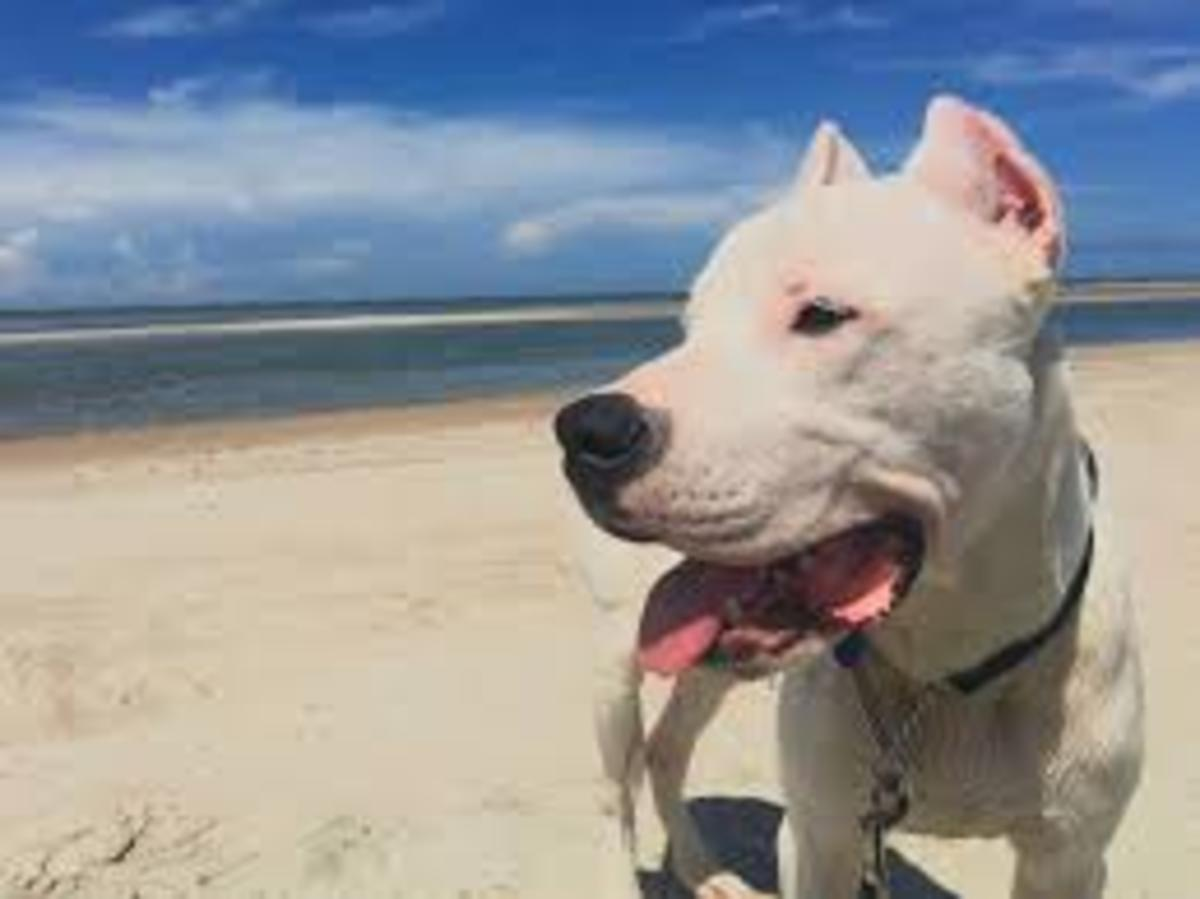 Dogo Argentino Puppy and Adult Health Issues That You Need To Be Aware Of