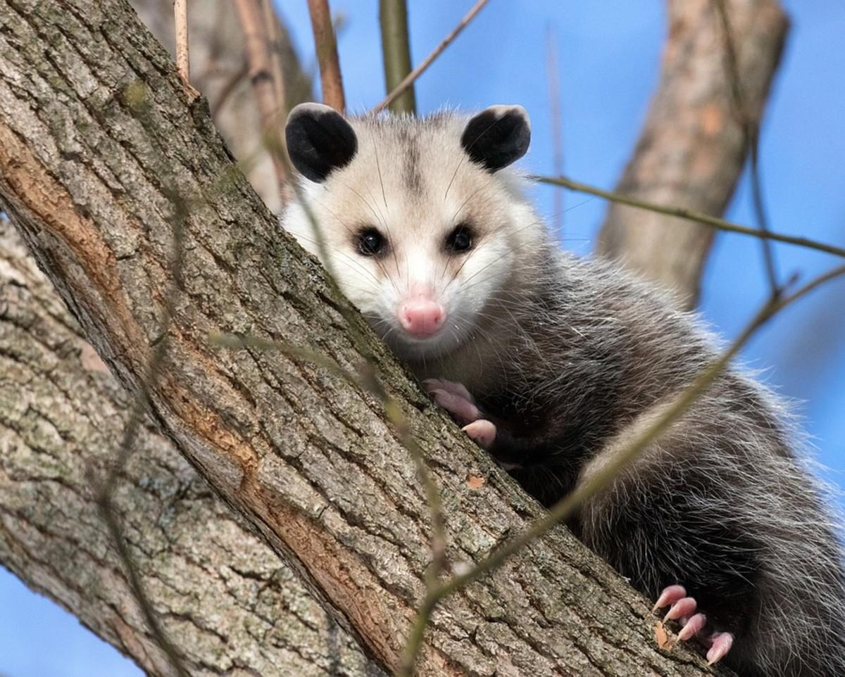Short-Tailed Opossum