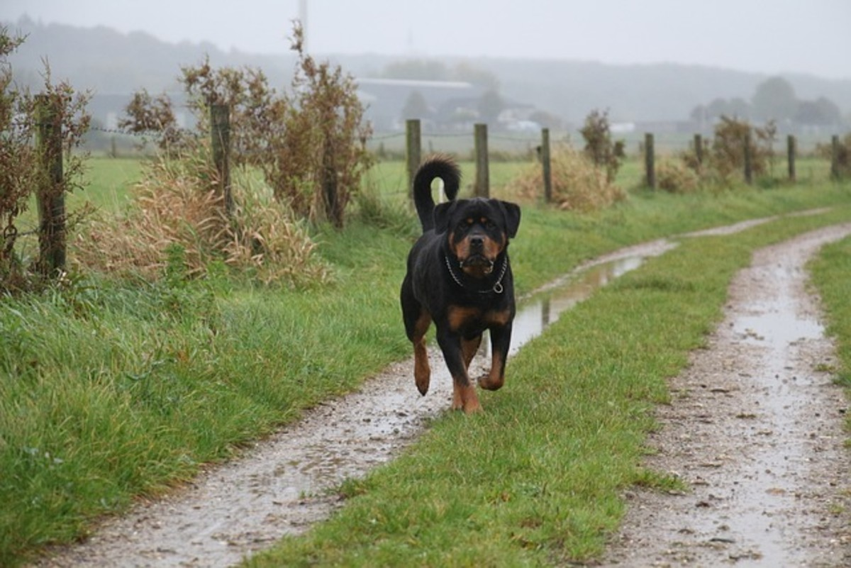 Rottweilers can be territorial and may attack other dogs entering their perceived turf.
