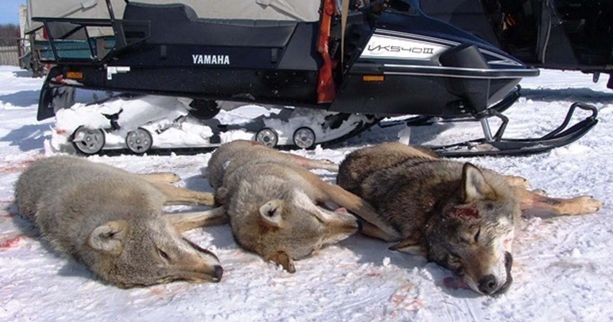Wolf hunt in Russia