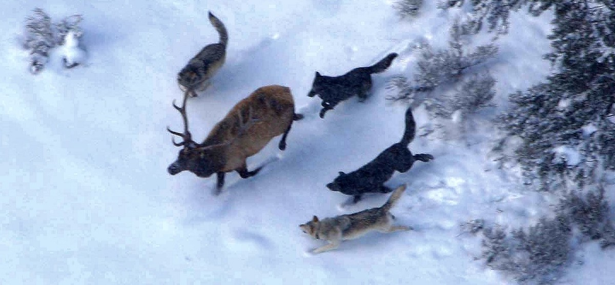 Wolves hunting elk in Yellowstone
