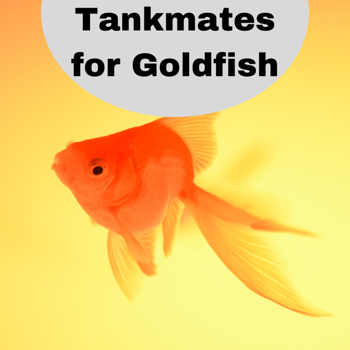 Be careful about what kind of fish you choose to put in a tank with your goldfish.