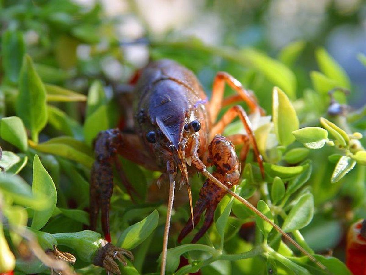 Photo of Crawfish